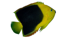 Rock Beauty Angelfish Isolated. Holacanthus tricolor has a body that is predominately black especially on the back half, as an adult. The head and front half Stock Photo