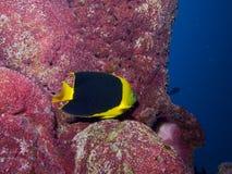 Rock Beauty. Angelfish on sponge encrusted pillar under Salt Pier Stock Photos