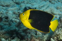 Rock beauty angelfish on coral reef at Bonaire Island in the Caribbean stock image