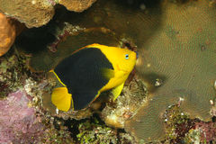 Rock Beauty (Holacanthus tricolor) - Cozumel Royalty Free Stock Images