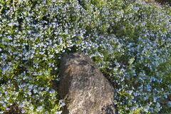 Rock and blue flowers. Forget-me-nots flowers and a rock stock image