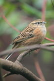 Rock bunting. The rock bunting sitting on the branch Stock Photo