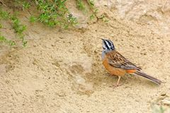 Rock Bunting. Background with beautiful bird. A small orange bird with black and white striped head is in the sand Stock Photos