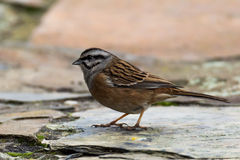 Rock bunting bird on a stone Royalty Free Stock Images