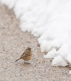 Rock Bunting at the road. A Rock Bunting (Emberiza cia) looks for anything eatable at the border of a snowed road at the Picos de Europa national park in the Stock Photography