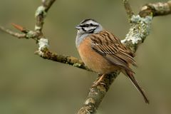 Rock Bunting & x28;Emberiza cia& x29;. Perched on a branch captured closed up stock photography