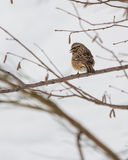 Rock Bunting on tree Stock Image