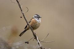 Rock bunting, Emberiza cia Stock Photos