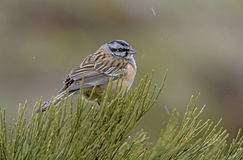 Rock bunting, Emberiza cia Royalty Free Stock Photography