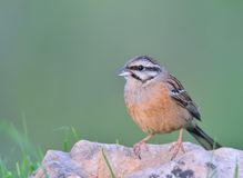 Rock bunting, emberiza cia Royalty Free Stock Images