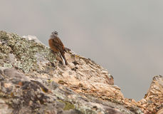 A Rock Bunting on the rocks. A Rock Bunting (Emberiza cia) rests on it´s preferred place and habitat: the rocks near the Monfragüe Castle in Extremadura Royalty Free Stock Image