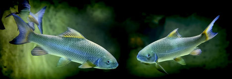 Rock carp fish Royalty Free Stock Photography