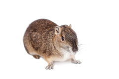 The rock cavy or moco, kerodon rupestris, on white royalty free stock photography