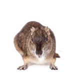 The rock cavy or moco, kerodon rupestris, on white Stock Photography