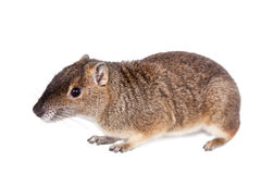 The rock cavy or moco, kerodon rupestris, on white stock images