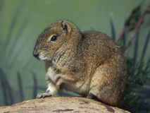 Rock cavy Kerodon rupestris. Rock cavy resting on a tree trunk with vegetation in the background Royalty Free Stock Photography