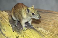 Rock cavy Stock Images