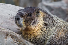 Rock Chuck. Facial Portrait of Adult Yellow Bellied Marmot, aka Rock Chuck, in Great Basin National Park, Nevada Royalty Free Stock Images