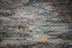 Rock climbing by a male tiger cub royalty free stock image
