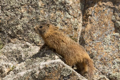 Rock Climbing Marmot. Wild marmot climbing rock face Royalty Free Stock Photo
