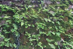 Rock closeup covered with moss and ferns. Royalty Free Stock Photo