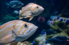 Rock Cod. With blue urchins Royalty Free Stock Image