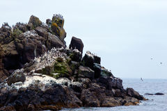 Rock with columns terns birds on Pacific coast in Newport Royalty Free Stock Images