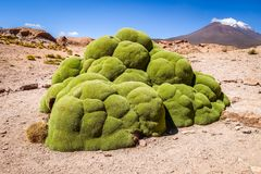 Rock covered with moss in Bolivian sud lipez. Rock covered with green moss in Bolivian sud lipez Royalty Free Stock Photo