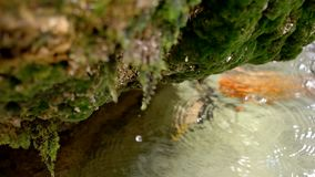 Slow Motion Water drops fall of rock coverd in moss stock footage