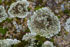 Lichen and moss on rock colorful natura background and texture Stock Photography