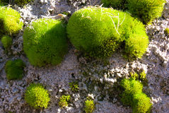 Rock covered with moss Royalty Free Stock Image