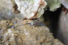 Rock Crab Stock Photo