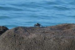 Rock Crab Froth. A rock crab frothing at the mouth at Point Panic, island of O'ahu, Hawai'i, USA stock photo