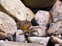 A Crab Getting Some Sun. A rock crab getting some sun in Maine stock photography