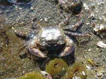 Rock crab Royalty Free Stock Image