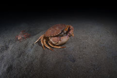 Rock Crab Stock Photography