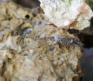 Rock Crab Royalty Free Stock Photo