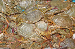 Rock Crabs. Fresh caught live rock crabs with strings around to restrain pinchers Royalty Free Stock Photo