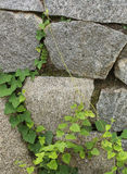Rock with creeper Stock Image