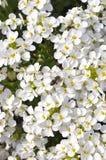 Rock-cress. Flowering Alpine rock-cress Arabis alpina Stock Photos