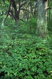 Rock Cut State Park. Dense understory vegetation covers the forest floor at Rock Cut State Park in Illinois Stock Photography