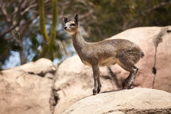 Rock-Dancing Cliff Springer, Klipspringer Stock Images