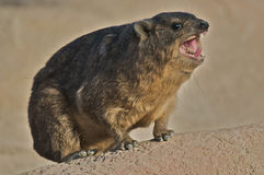 Rock Dassie Royalty Free Stock Photo