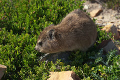 Rock dassie Royalty Free Stock Photos