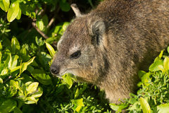 Free Rock Dassie Royalty Free Stock Photos - 57541518