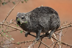 Rock Dassie royalty free stock photography