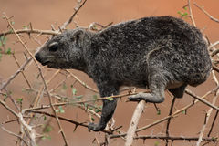 Rock Dassie Royalty Free Stock Images