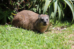 Rock Dassie. Cape Hyrax or Rock Dassie (Procavia capensis) in Tsitsikamma National Park. South Africa Stock Photo