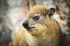 Rock Dassie Royalty Free Stock Image