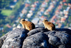 Rock Dassie Stock Image